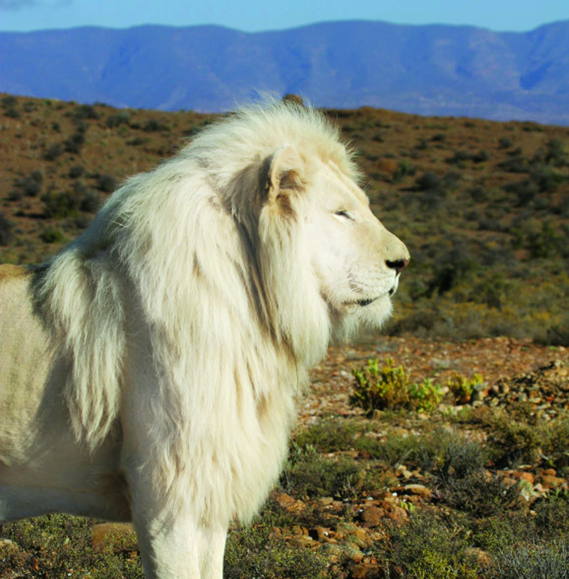 Sanbona White Lion