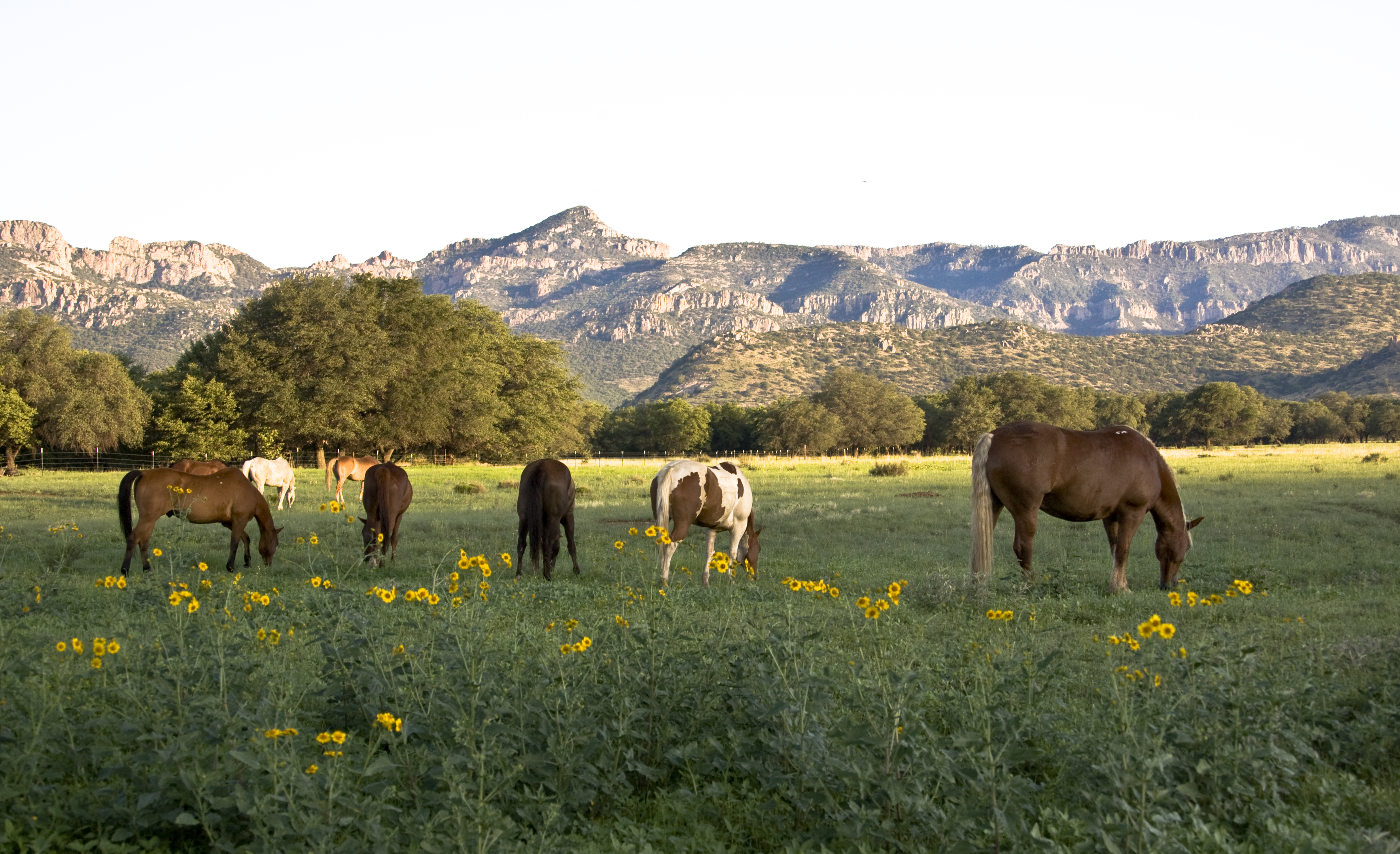 Flowers, Horses and Mountains
