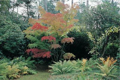 Acer-palmatum-Collingwood-Ingram